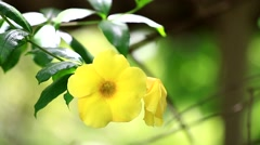 Allamanda cathartica flower Stock Footage
