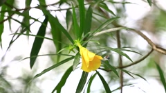 Yellow pastel colour oleander Stock Footage
