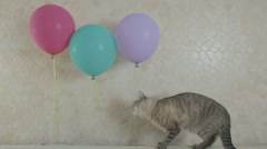 Funny naughty cat gnaws rope from balloon - stock footage