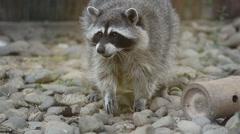 Funny raccoon eating treats Stock Footage