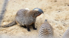 Group of banded mongoose Stock Footage