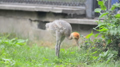Little ostrich baby Stock Footage
