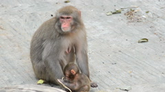 Japanese macaque (Macaca) with her baby Stock Footage