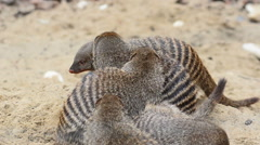 Banded mongooses on a send Stock Footage