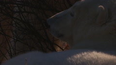 Close on soft fur of polar bears in willows chewing on each other Stock Footage