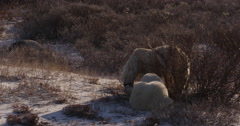 Medium two polar bears playing calmly at edge of tundra willows on cold night - stock footage