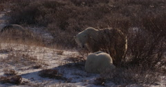 Medium two polar bears chewing on cold willows at edge of tundra in arctic - stock footage