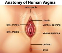 Diagram showing anatomy of human vagina Stock Illustration