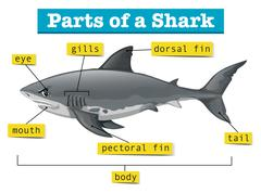 Diagram showing parts of shark Stock Illustration