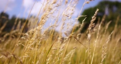 Beautiful long grass moving in wind. Meadow grass background. - stock footage