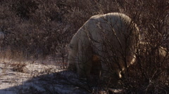 Slow motion - two polar bears wrestle in golden light in tundra willows Stock Footage