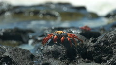 Sally lightfoot crab with waves on the shore at santa cruz in the galapagos Stock Footage