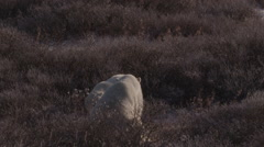 Slow motion - two polar bears say hello in willows in arctic afternoon Stock Footage