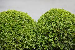Spherical boxwood shrubs Stock Photos