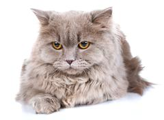Gray cat with yellow eyes  on a white background Stock Photos