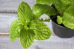 Mentha longifolia plant Stock Photos