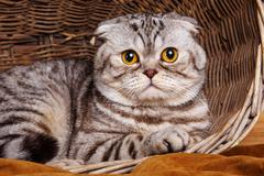 Bicolor stripes cat with yellow eyes Scottish Fold Sits in a wooden basket Stock Photos
