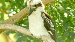 Exotic Australian kookaburra bird sitting very still on tree branch Stock Footage