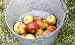 Old zinc bucket with shiny red apples Stock Photos