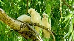 Wild Australian cockatoo birds sitting on tree branch Stock Footage