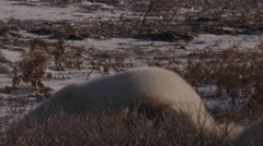 Slow motion - Polar bears bight and hit while wrestling in frost and willows - stock footage