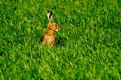 Wild hare in the field Stock Photos