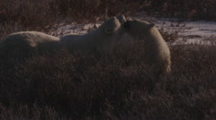 Two polar bears in snowy willows greet each other in afternoon light and frost Stock Footage
