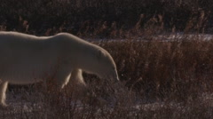 Polar bear walks through willows in golden light and frosty snow Stock Footage