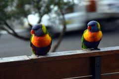 Colorful rainbow lorikeet couple (Trichoglossus haematodus) Kuvituskuvat