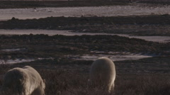 Two polar bears walk out of willows to tire tracks at sunset Stock Footage