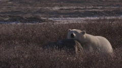 Adorable polar bear rests with head on rock in evening light at sunset Stock Footage