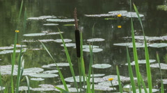Reeds and water lilies growing in the swamp Stock Footage