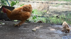 Betong chicken and chick eating food at farm Stock Footage