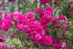 Beautiful Bushes of Pink Roses Stock Photos