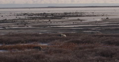 Wide of polar bears between willows and sea with one using rock as pillow Stock Footage