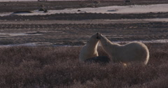 Two polar bears kiss near rock they use as pillow in evening light Stock Footage