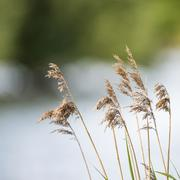 Shallow depth of field view of reeds over lake in Summer season Stock Photos