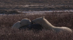 Two tired polar bear friends touch noses as they share a rock for a pillow Stock Footage