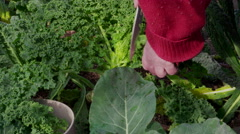 Picking Kale in the vegetable garden - stock footage