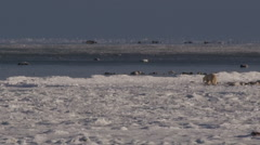 On sunny day a polar bear makes its way across snow and ice towards open sea Stock Footage