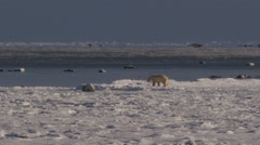 Polar bear walks along frozen shore of icy sea on sunny day Stock Footage