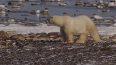 Close on male polar bear looking around on frozen coast of snow bound sea Stock Footage