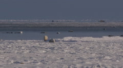 Slow motion - distant polar bears greet on frozen shore of icy bay in sunlight Stock Footage