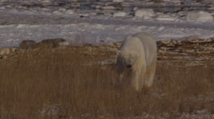 Polar bear stops in golden grass near icy coast to sniff Stock Footage