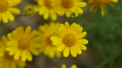 Dahlberg Daisy flowers shaking with wind Stock Footage