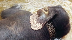 Elephant with chain collar lying in water, animal abuse, exploitation. Cruelty Stock Footage