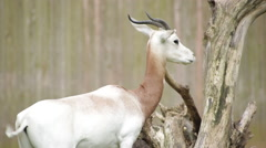 The endangered scimitar-horned oryx sharpening its horns Stock Footage
