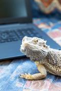 Agama lizard with laptop. Vertically. Stock Photos