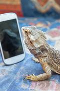 Agama lizard is looking at smartphone Stock Photos