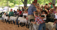 Lamb judging annual rural community celebration DCI 4K Stock Footage